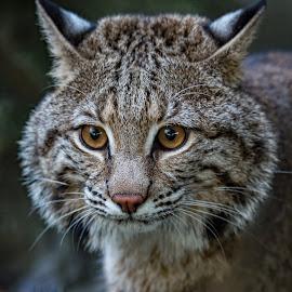 Bob Cat by Roy Walter - Animals Lions, Tigers & Big Cats ( captivity, bobcat, zoo, wildlife, feline, animal )