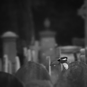 Sleeping by Rob Jarvis - Landscapes Weather ( bird, cemetery, headstone, grave, pwcbwlandscapes, magpie, graveyard )