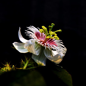 Passion Flower by Vijay Diksit - Nature Up Close Flowers - 2011-2013