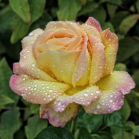 BA rose 34 by Michael Moore - Flowers Single Flower (  )