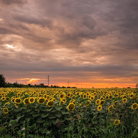sunflowers by Cornelius D - Landscapes Sunsets & Sunrises