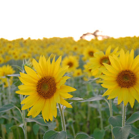 Up Close and Personal by Brittany Humphrey - Nature Up Close Flowers - 2011-2013 ( field, up close, sunflowers, meadow, sea )