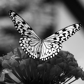 Butterfly by Dawn Friend - Black & White Animals ( butterfly, black and white,  )