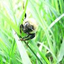 Bombus monticola (Bee)