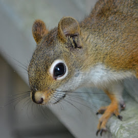 Watching  by Kathryn Potempski - Animals Other Mammals ( nature, furry, wildlife, nature close up, cute, squirrel, animal )
