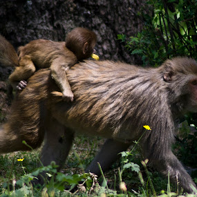 by Divnoor Buttar - Animals Other Mammals ( pwc monkey, pwc still life, monkey )
