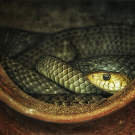 Keeping an eye! by Swarna Rajan - Animals Reptiles ( close up, reptiles, snake, snakes, animals, zoo )