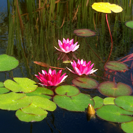 Red Water Lilies by Edward Gold - Digital Art Things ( red, digital photography, pond, yellow pod, green pods, digital art, red water lilies,  )