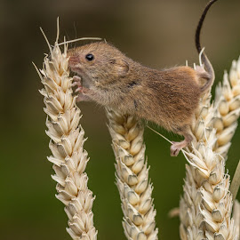 Stretch by Garry Chisholm - Animals Other Mammals ( mice, garry chisholm, nature, harvest mouse, british wildlife, rodent )