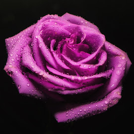 Purple Rose by Dave Walters - Flowers Single Flower ( macro, mystical, nature, colors, flowers, lumix fz2500 )