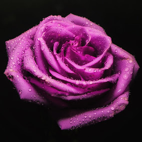 Purple Rose by Dave Walters - Flowers Single Flower ( macro, mystical, nature, colors, flowers, lumix fz2500,  )
