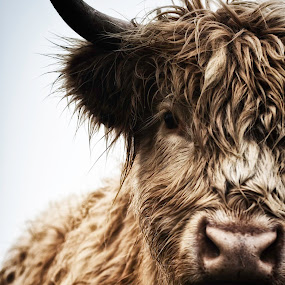 Buffy by Josh Hilton - Animals Other Mammals ( highland, highland cow, cow, scottish, cattle )