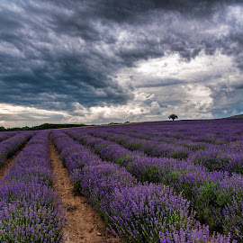 Lavender color by Venelin Dimitrov - Landscapes Prairies, Meadows & Fields