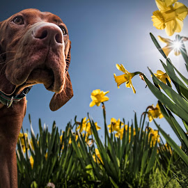 Daffodog by Anthony Wood - Animals - Dogs Playing ( hungarian vizsla, daffodils )