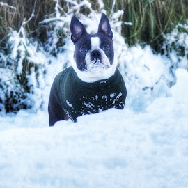 Snow Day! by Deborah Lister - Animals - Dogs Playing ( dogs, snow, boston terrier, dog,  )