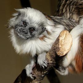 Cotton-Top Tamerin by Ralph Harvey - Animals Other Mammals ( wildlife, ralph harvey, monkey, marwell zoo, animal )
