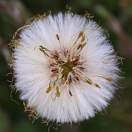 Looking Down by Chrissie Barrow - Nature Up Close Other Natural Objects ( plant, nature, coltsfoot, white, round, seeds, circle, bokeh, closeup, seedhead )