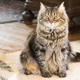 by Jill Zwick - Animals - Cats Portraits ( cats, cat face, pet, cat portrait, pets )