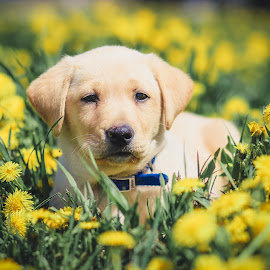 Dandelion field forever by Patricia Chartier - Animals - Dogs Puppies ( puppy portrait )