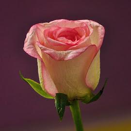 by Sambit Bandyopadhyay - Flowers Single Flower