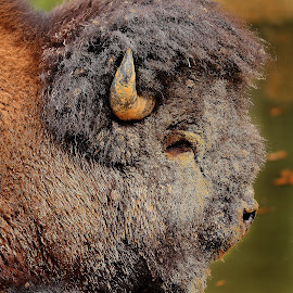 What a big buffalo ! by Gérard CHATENET - Animals Other Mammals