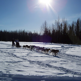 Basking sun Iditarod by Tracy Nicholas - Animals - Dogs Running ( dog race, snow, dogs, iditarod, sport )