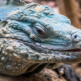 In your face by Brian Butters - Animals Reptiles ( animals, green, iguana, washington dc, reptile, national zoo, close up )