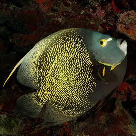 French Angelfish by David Gilchrist - Animals Fish ( underwater, fish, underwater photography, angelfish, animal,  )