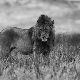 The King by Ilan Abiri - Animals Lions, Tigers & Big Cats ( clouds, lion, nature, grass, black and white, safari, aftica, wildlife, mamal, tanzania, animal )