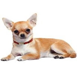 Cute Chihuahua Wall Clock