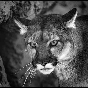 Mountain Lion-2.jpg