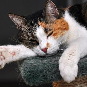 Sooo Sleepy by Leif Holmberg - Animals - Cats Portraits ( cat, paw, sleepy, cute, animal,  )