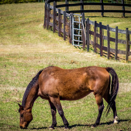 Is There Any Down Here by Janice Mcgregor - Animals Horses ( field, ranch, fence, pasture, grass, green, outdoors, horse, contest, brown, outside, gate )