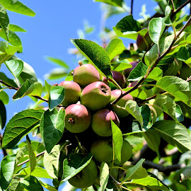 Apple tree by Heather Aplin - Nature Up Close Gardens & Produce ( fruit, sky, tree, blue, apple, summer, sunshine, leaves, branches )