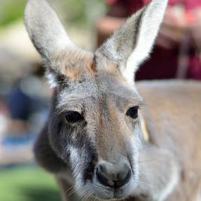 What's up doc by Mariusz Murawski - Animals Other Mammals ( safari park, kangaroo, nose, mammal, animal, eyes )