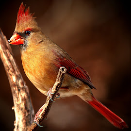 Female Northern Cardinal  by Paul Mays - Animals Birds