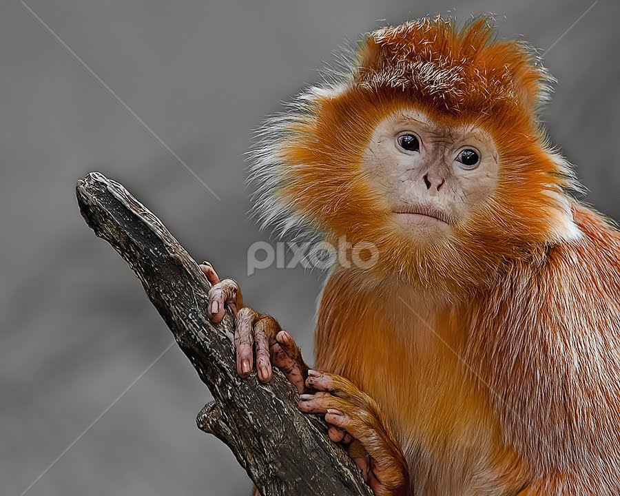 Sweet Soul by Shelly Wetzel - Animals Other Mammals ( ebony langur, primate, monkey, mammal )