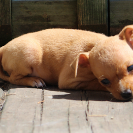 Baby Kaya by Jennifer Duffany - Animals - Dogs Puppies ( babykaya miniaturepincsher puppy puppylove )