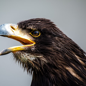 by Ralf Harimau Weinand - Animals Birds ( freisen, eagle, adler )