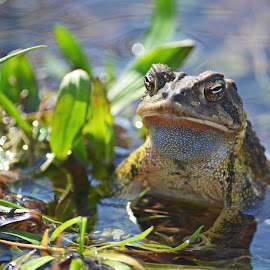 Toad by Courtney Long - Animals Amphibians ( nature, frog, amphibian, wildlife, toad )