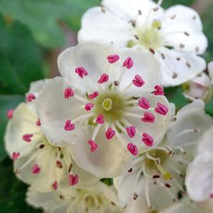 04a May blossom.jpg