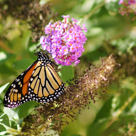 Monarch and Beauty Bush by Leah Zisserson - Animals Insects & Spiders ( butterfly, monarch, beauty bush, virginia, backyard, flower )