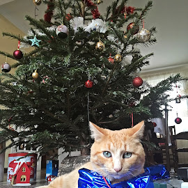 Christmas'cat by Dobrin Anca - Public Holidays Christmas ( cat, tree, decoration, green, brittany )