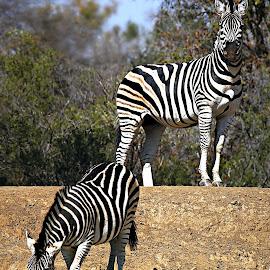 Alert by Pieter J de Villiers - Animals Other
