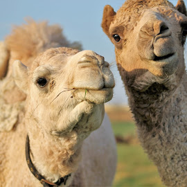 Paired by Anna Tripodi - Animals Other ( love, two, pair, camels, cute )