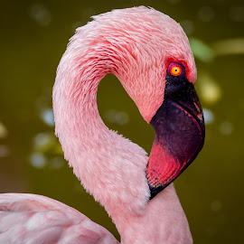 Flamingo by Dave Lipchen - Animals Birds ( yellow eye, flamingo, pink, closeup,  )