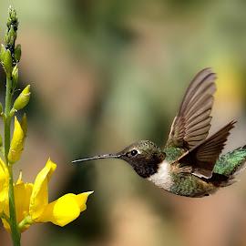 Hummingbird by Shawn Thomas - Animals Birds
