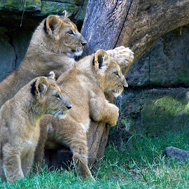 by Steven Aicinena - Animals Lions, Tigers & Big Cats