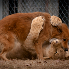 Love at First sight by Myra Brizendine Wilson - Animals - Dogs Playing ( big cats, cwpg, meetup, lioness, big cats sanchary, dog playing, lions, tigers, dog, suzie's pride,  )