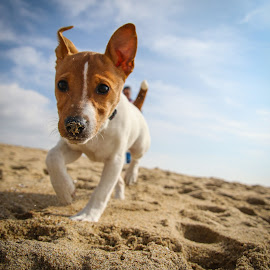 Focused by Keith Guyll - Animals - Dogs Puppies ( playing, jack russell, play, beach, dog, running, portrait )